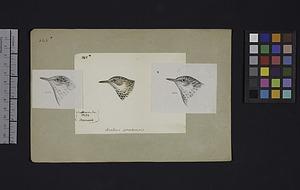 Robert Ridgway Bird Head Drawing #165x