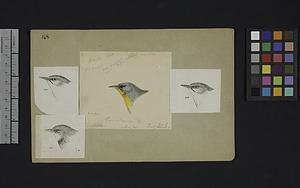 Robert Ridgway Bird Head Drawing #168