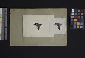 Robert Ridgway Bird Head Drawing #195