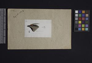 Robert Ridgway Bird Head Drawing #232