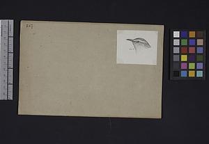 Robert Ridgway Bird Head Drawing #267