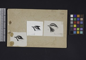 Robert Ridgway Bird Head Drawing #294