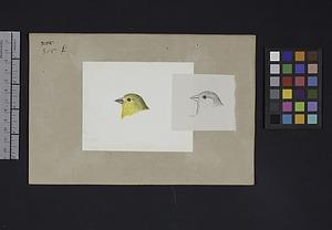 Robert Ridgway Bird Head Drawing #315 female
