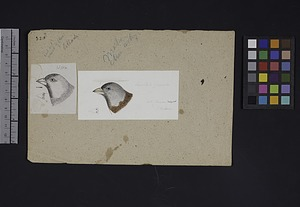 Robert Ridgway Bird Head Drawing #323y
