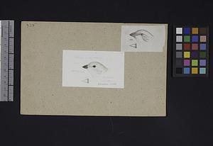 Robert Ridgway Bird Head Drawing #325