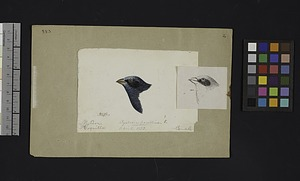 Robert Ridgway Bird Head Drawing #383