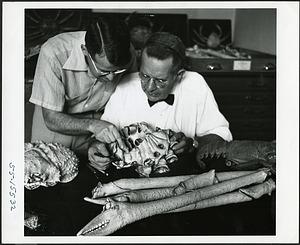 Waldo L. Schmitt and Thomas E. Bowman examining a giant crab of Japan