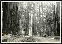 Scene in Bolling Memorial Redwood Grove, Humboldt County, California