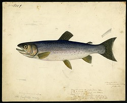 Color Drawing of Salmonidae, 1841, Smithsonian Institution Archives, SIA RU007186 [SIA2016-008656].