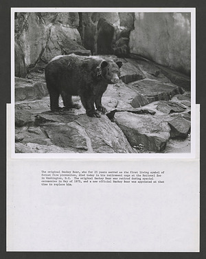 "Smokey in his NZP enclosure upon his ""retirement,"" c. May 1975"