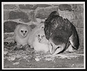 Barn Owls, West Tower, Smithsonian Institution Building, or Castle
