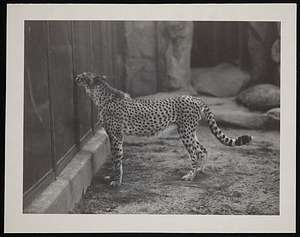 National Zoological Park, African Cheetah