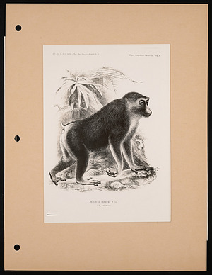 National Zoological Park, Black or Moor Macaque, Engraving