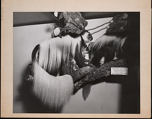 United States National Museum, Mounted Group of Colobus Monkeys