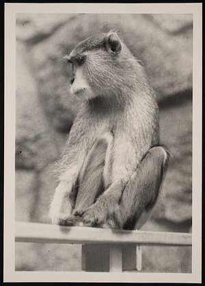 National Zoological Park, Patas Monkey