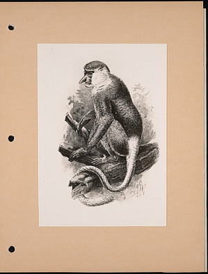 National Zoological Park, Proboscis Monkey, Engraving
