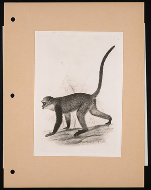 National Zoological Park, Guenon, Engraving