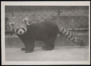 National Zoological Park, Red Panda