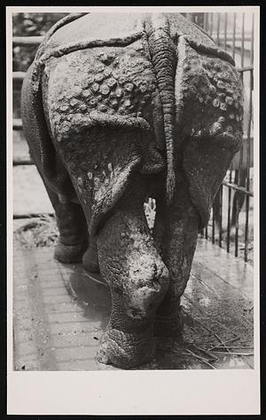 "National Zoological Park, Greater One-horned Rhinoceros ""Gunda"""
