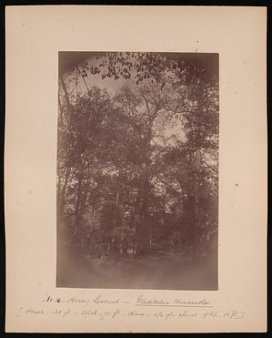 Forest of Mississippi Valley (Record Photo), 1881 - No. 16 -- Honey Locust